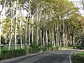 Saadabad trees - panoramio.jpg