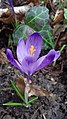 Saffron - Crocus vernus 38.jpg