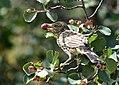 Sage thrasher on Seedskadee National Wildlife Refuge (35402971213).jpg