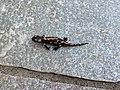 Salamandra1.jpg