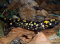 An individual of a yellow-spotted salamander