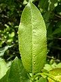 Salix eriocephala var. watsonii (4996656099).jpg
