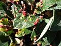 Salix sp with Eriophyidae galls upernavik 1.jpg