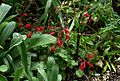 Salvia Roemeriana.jpg