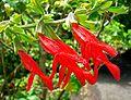 Salvia gesneriiflora 4.jpg