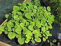 Salvia omeiana ex Crug Thundercloud - Flickr - peganum (2).jpg