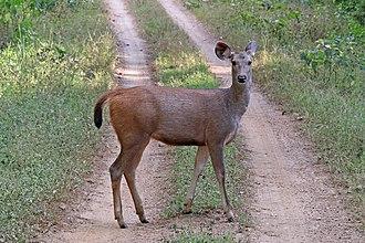 Sambar deer - female both R. u. unicolor in Kanha National Park, Madhya Pradesh, India