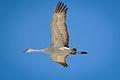 Sandhill Crane (Grus canadensis) (16756838242).jpg