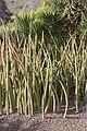Sansevieria stuckyi - Jardín Botánico Canario Viera y Clavijo - Gran Canaria.jpg