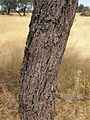 Santalum lanceolatum trunk.jpg