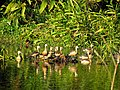 Satajan wetland, Whistling ducks,Lakhimpur.jpg