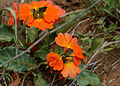 Save Crossandra (Crossandra mucronata) (11514979844).jpg