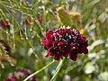 Scabiosa atropurpurea-IMG 9138.jpg