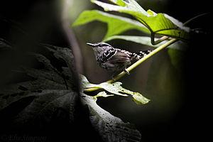Scaled antbird - Image: Scaled Antbird (Drymophila squamata)