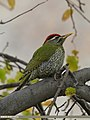 Scaly-bellied Woodpecker (Picus squamatus) (23145151513).jpg