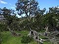 Scheinbuchenwald (Nothofagus) Torres del Paine Nationalpark.jpg