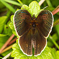 Schmetterling 6630.jpg