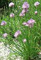 Schnittlauch, Allium schoenoprasum.jpg