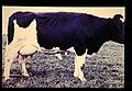 Schwarzbunte = 世界の牛 ドイツ黒白斑牛(雌) (36536961862).jpg