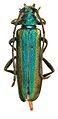 Schwarzerium (Rugosochroma) yunnanum paratype - ZooKeys-275-067-g001-2.jpeg