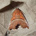 Scoliopteryx libatrix (Erebidae) (Herald) - (imago), Gent, Belgium.jpg