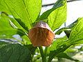 Scopolia japonica-04.jpg