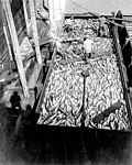 Scow loaded with salmon at the Alaska Packers Association cannery, Wrangell, Alaska, 1918 (COBB 114).jpeg