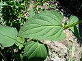 Scrophularia nodosa4 W.jpg