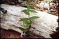 Scutellaria galericulata 2-eheep (5097387401).jpg