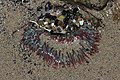 Sea anemone (43128434062).jpg