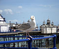 Seagull (3497901982).jpg