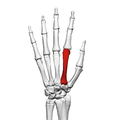 Second metacarpal bone (left hand) 02 dorsal view.png