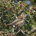 Sedge warbler (Acrocephalus schoenobaenus) 3.jpg