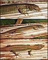 Selvasaura brava (10.3897-zookeys.774.25332) Figure 6.jpg