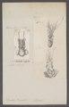 Sepiola rondeletii - - Print - Iconographia Zoologica - Special Collections University of Amsterdam - UBAINV0274 090 06 0002.tif