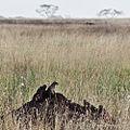 Serengeti, Tanzania - panoramio (1).jpg