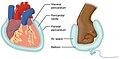 Serous Membrane.jpg