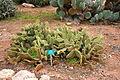 Ses Salines - Botanicactus - Opuntia microdasys 01 ies.jpg