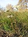 Seseli annuum + Euphorbia cyparissias sl3.jpg