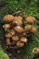 Shaggy Scalycap - Pholiota squarrosa (37627834470).jpg