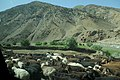 Sheep in Panjshir Valley.jpg