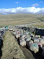 Sheep on Stocks Lane - geograph.org.uk - 771143.jpg