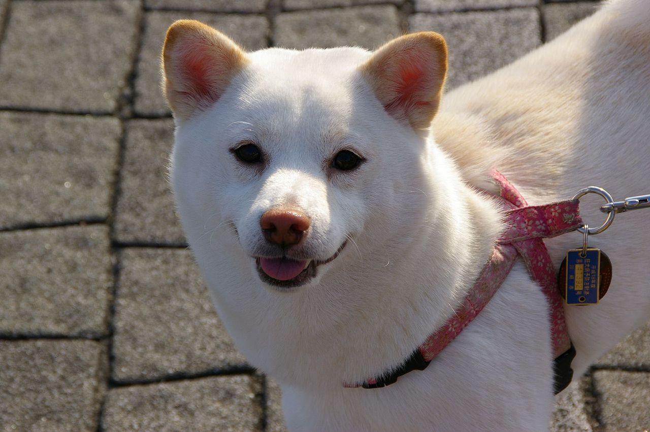 Image Result For Shiba Inu Puppies