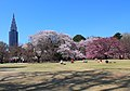 Shinjuku Gyoen National Garden - sakura 4.JPG