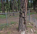 Shrapnel Tree - Mitchell Monument, Bly, Oregon (6149872687).jpg