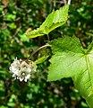 Sidalcea malachroides 4.jpg