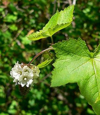 Sidalcea - Sidalcea malachroides