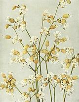 Silene vulgaris WFNY-052.jpg