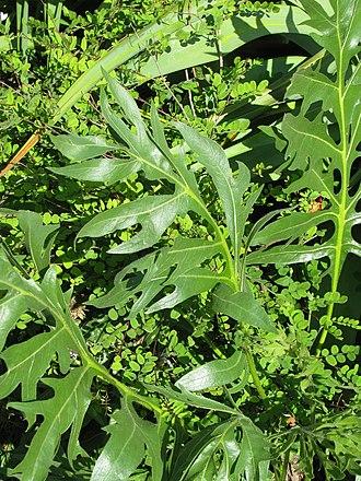 Silphium (genus) - Image: Silphium laciniatum leaves (9292304354)