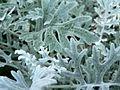 Silver leaves.jpg